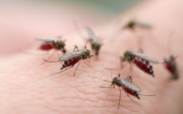 group of mosquitoes