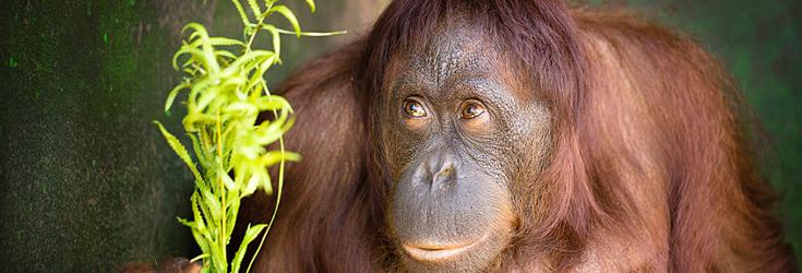 orangutan-released-free