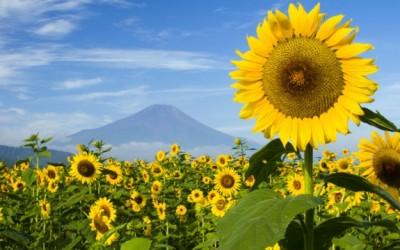 outside sunflowers