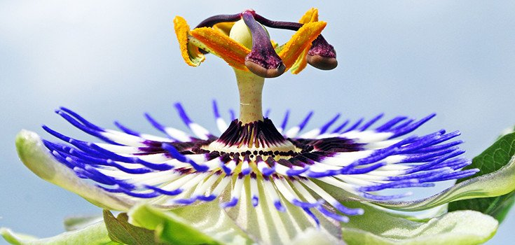 passion-flower-735-350