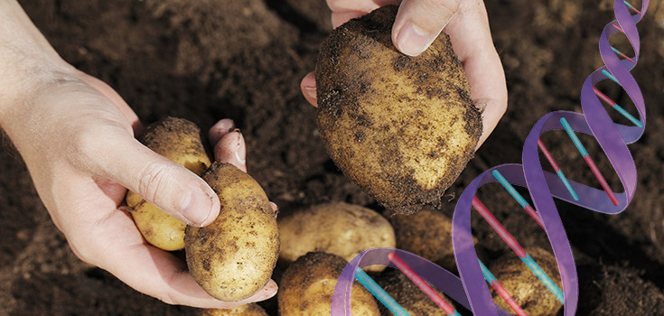 potato-food-dirt-harvest-crops-dna-735-350