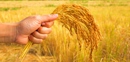 Trial: Pesticide-Producing GMO Wheat Fails to Deter Pests