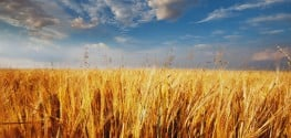 Feds Still have No Idea How Illegal GM Wheat Got Into this Montana Field