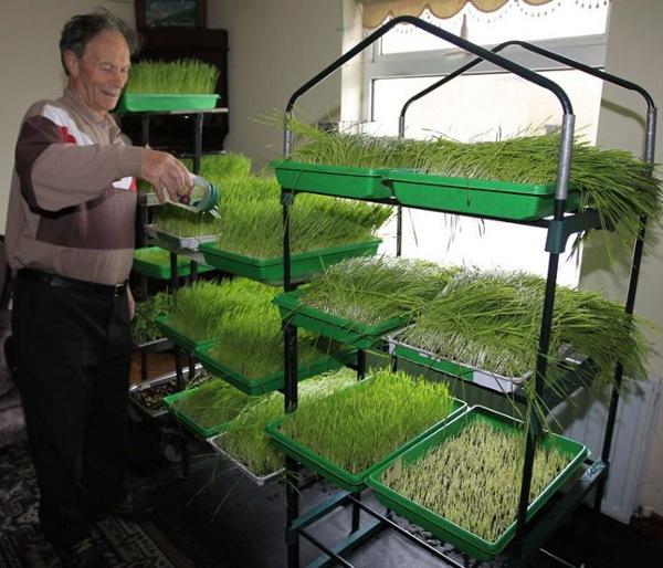 wheatgrass_danny-mc-donald