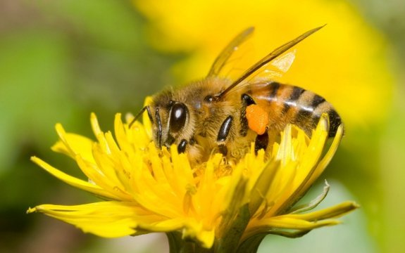 bee pollinating