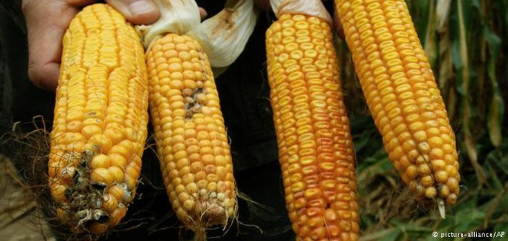 Germany Pushes GMO Ban Before 2015 Harvest