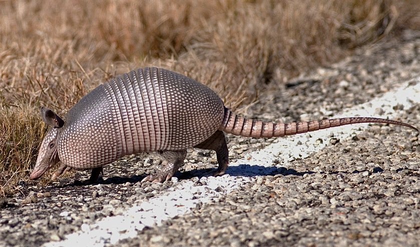 How Armadillos Are Spreading Leprosy in Florida