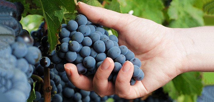 New Trial Suggests Resveratrol Might Prevent, Slow Alzheimer's Disease