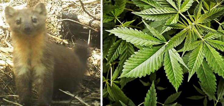 Marijuana Farms Could Make These Cute Critters an Endangered Species