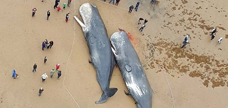 Sad News: Beached Sperm Whale Had 64 Pounds of Trash in its Body