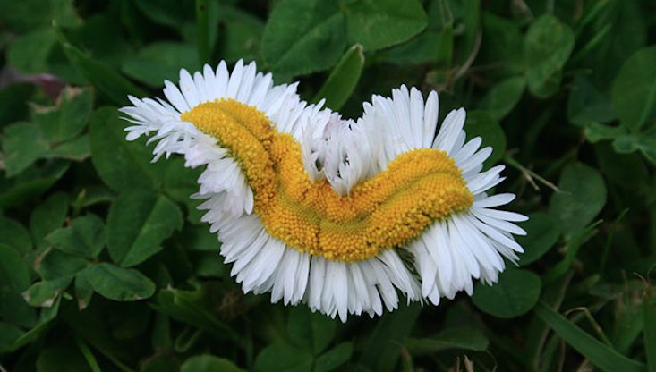 Photos Mutant Daisies Found In Fukushima Safe Zone