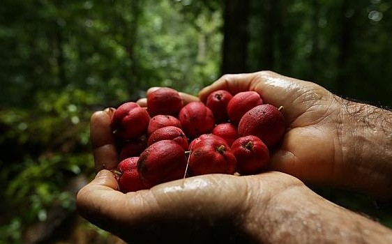 blushwood berry