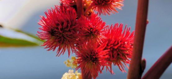 castor flower