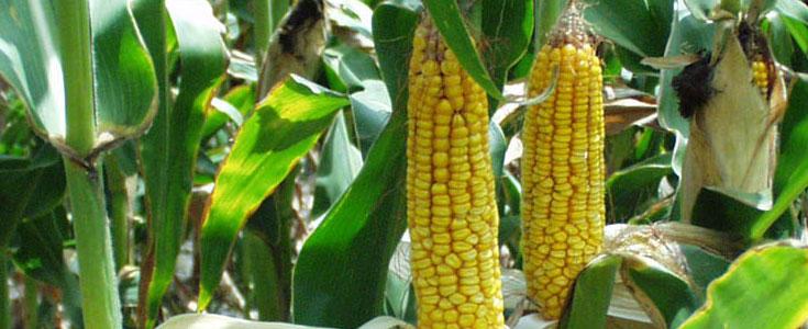 corn-gmo-yield