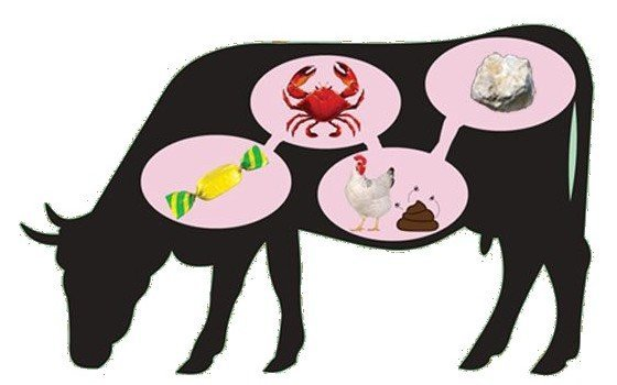 cow food