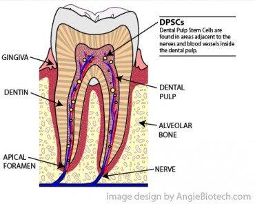 dental-pulp-stem-cells-DPSCs