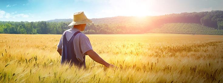 field-wheat-crops-735-275