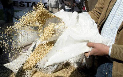 gmo maize