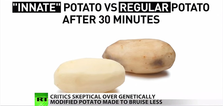 Innate Genetically Modified Potato and Regular Potato after 30 Minutes