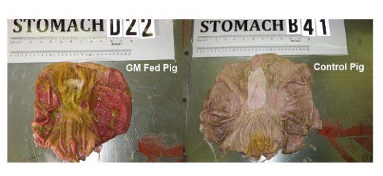 gmo pig study