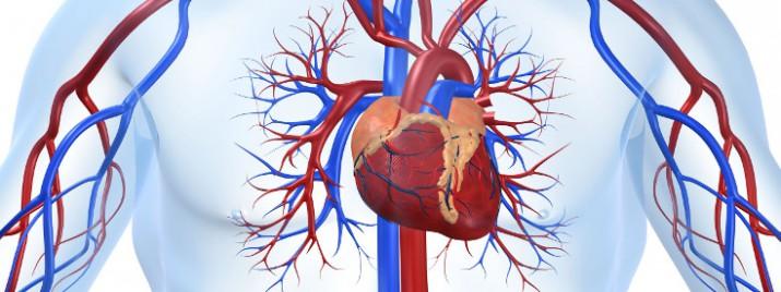 human_cardiovascular_heart_735_275