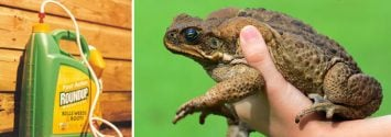 Is Glyphosate Making These Australian Toads more Deadly?