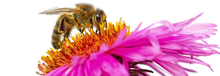 insect_bee_pollen_715_250