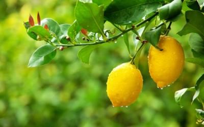 lemons in tree
