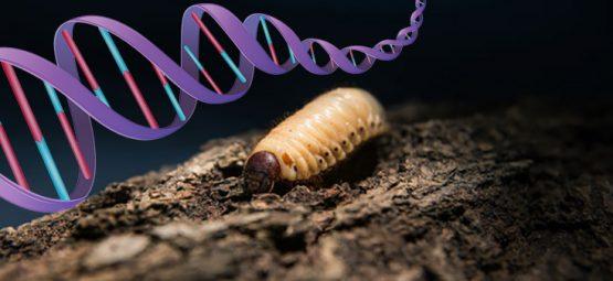 genetically modified maggot