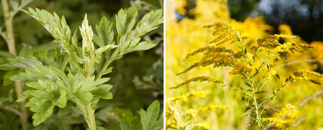 Mugwort and ragweed allergies