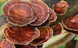 mushroom_reishi