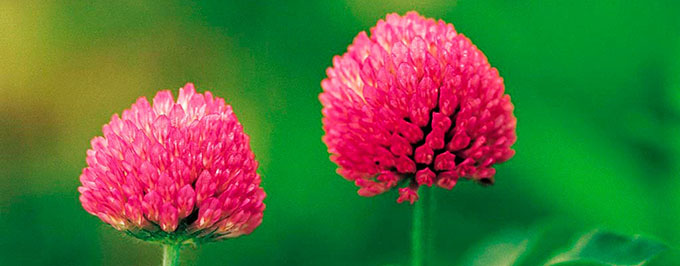 red-clover-herb-680