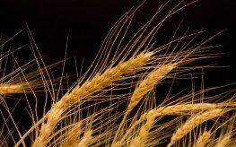 usda-gm-wheat