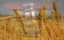 wheat court