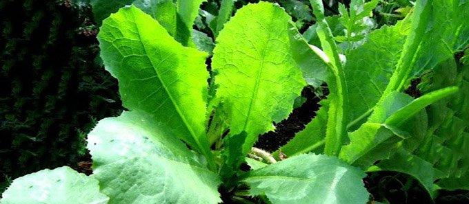 wild-oppio-lattuga-lactuca-virosa-680